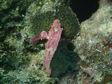 Purple Leaf Scorpionfish